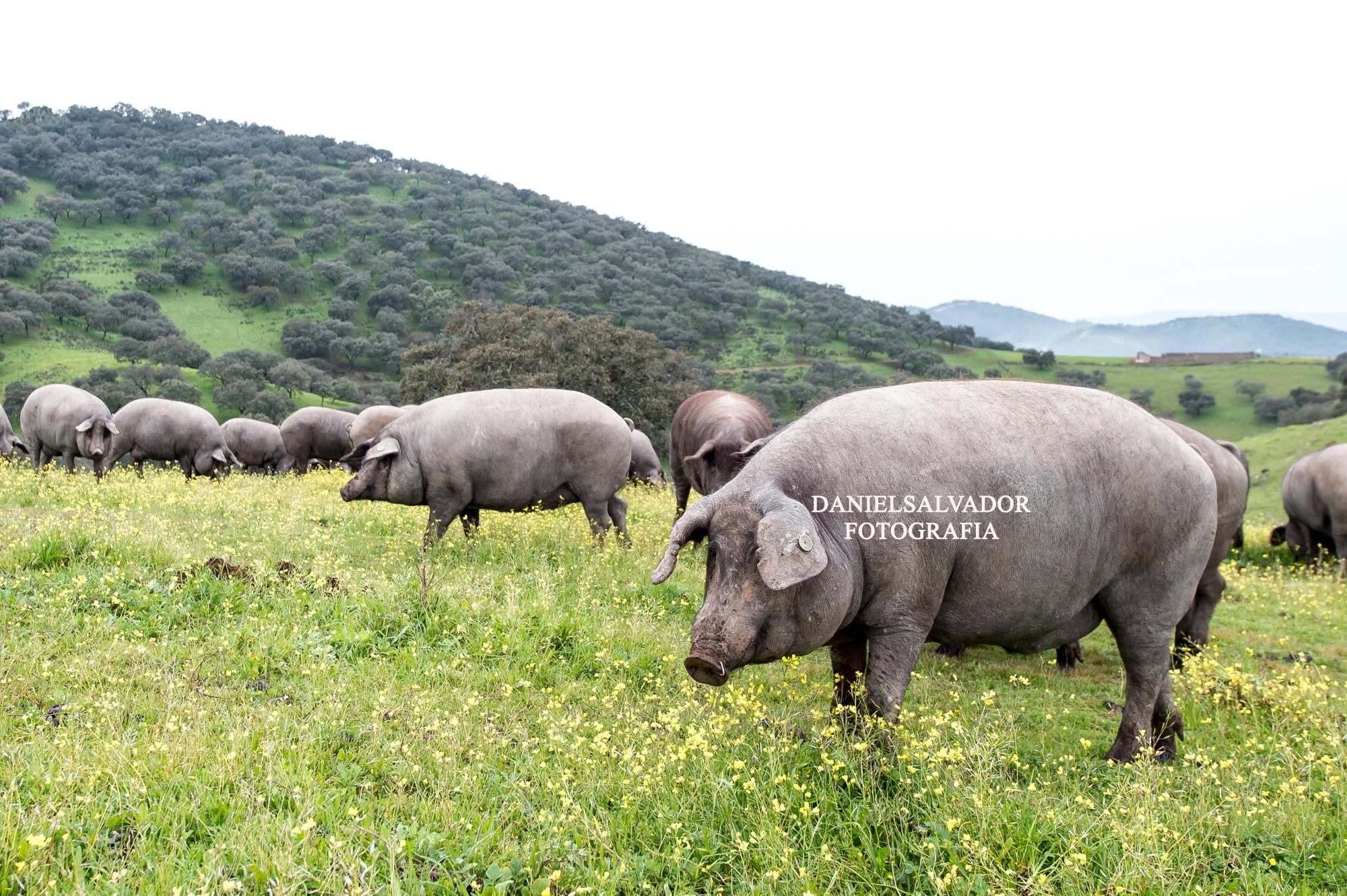 Cerdo ibérico y montanera ©Daniel Salvador Fotografía