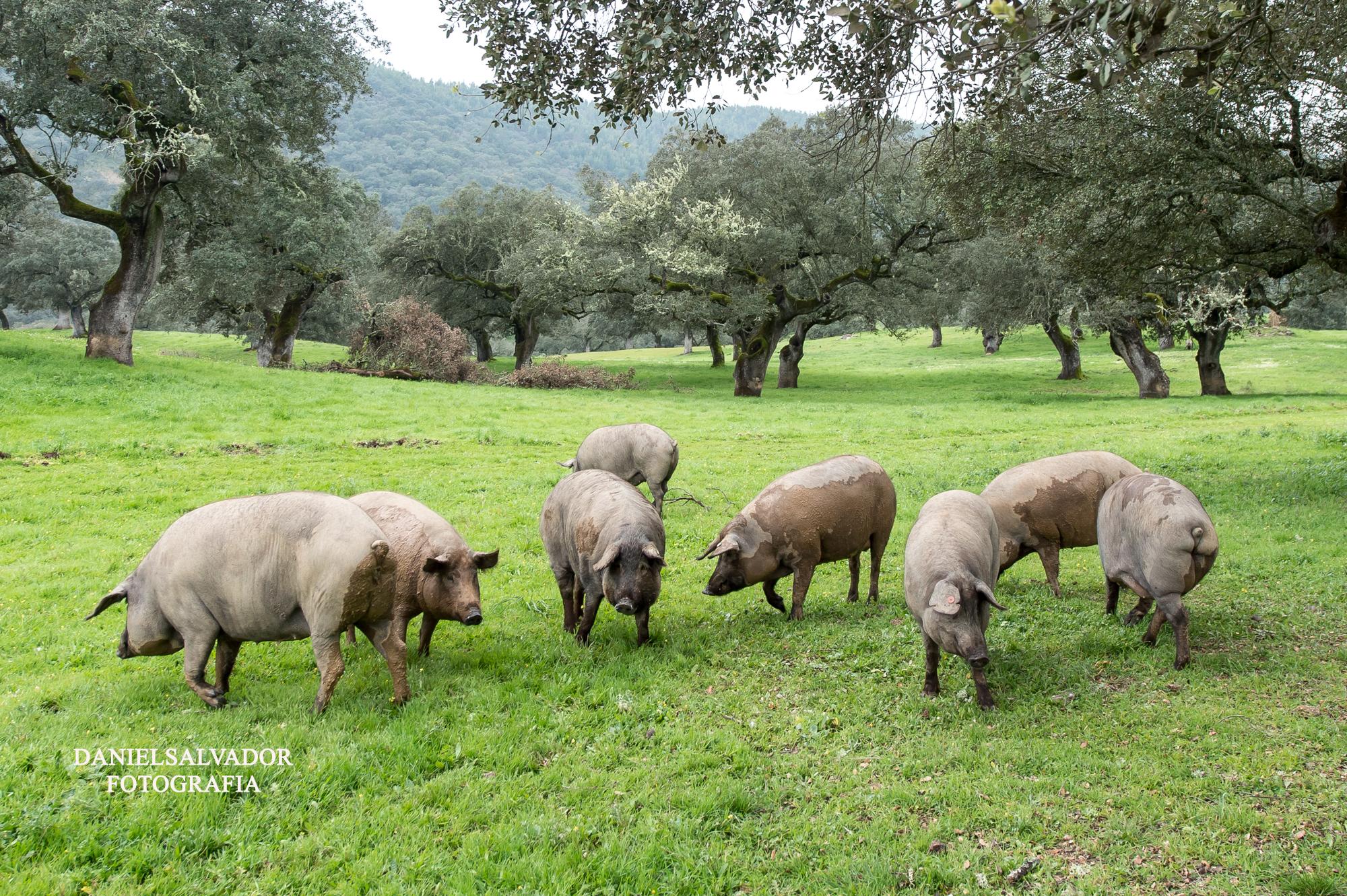 Cerdo iberico y montanera-72